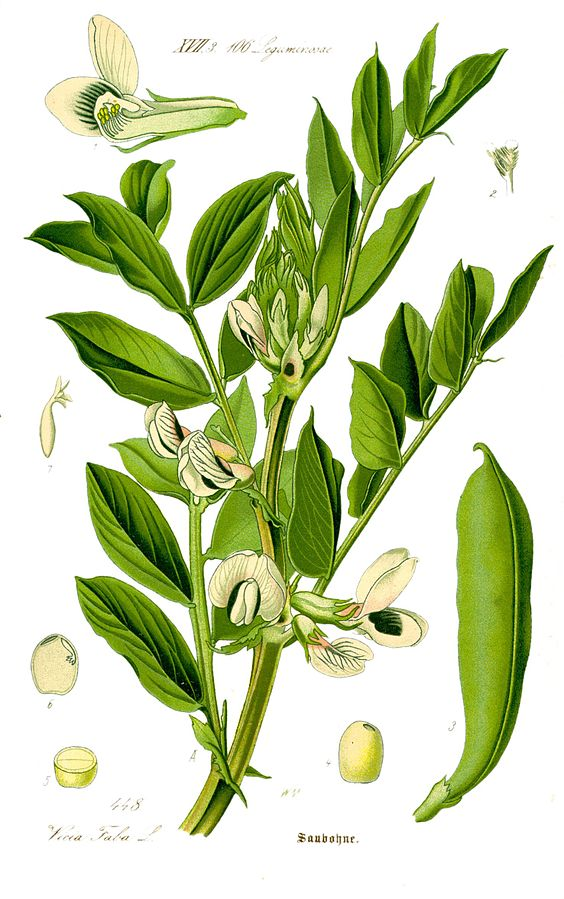 atremorine composition vicia faba